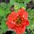 "Geum - Blazing Sunset   Light: Sun/Part Shade Zone: 4 Size: 18-24"" Bloom Time: May-June Color: Scarlet Red Soil: Well-Drained, Moist"
