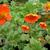 "Geum - Cooky  Light: Sun/Part Shade Zone: 4 Size: 12-15"" Bloom Time: May-June Color: Orange Soil: Well-Drained, Moist"