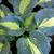 "Hosta - Dream Queen  Light: Part Sun/Shade Zone: 3 Size: 18"" Bloom Time: July Color: Lavender Soil: Well-Drained, Moist"