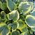 "Hosta - Liberty  Light: Shade Zone: 3 Size: 20-24"" Bloom Time: July Color: Lavender Soil: Well-Drained, Moist"