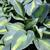 "Hosta - Touch of Class   Light: Shade Zone: 3 Size: 24"" Bloom Time: July Color: Lavender Soil: Well-Drained, Moist"