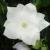"Balloon Flower - Astra Semi Double White  Light: Sun/Part Shade  Zone: 3 Size: 6-8"" Bloom Time: July/August Color: White Soil: Moist"