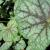 "Coral Bells - Green Spice   Light: Sun/Part Sun Zone: 3 Size: 24-30"" Bloom Time: May-August Color: Creamy White Soil: Moist, Well-Drained"