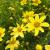 "Coreopsis - Creme Brûlée  Light: Sun Zone: 3 Size: 12-18"" Bloom Time: June-September  Color: Pale Yellow Soil: Well-Drained"