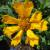 "Coreopsis - Dahl Baby   Light: Sun/Part Shade Zone: 3 Size: 8-10"" Bloom Time: June-September  Color: Golden Yellow Soil: Well-Drained"
