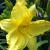 "Daylily - Happy Ever App. Happy Returns  Light: Sun/Part Shade Zone: 4 Size: 16"" Bloom Time: May-October Color: Lemon Yellow Soil: Moist, Well-Drained"