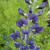 False Indigo - Midnight Prairieblues  Light: Sun/Part Shade Zone: 4 Size: 4-5' Bloom Time: May/June Color: Indigo Blue Soil: Well-Drained, Dry