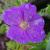 "Geranium - Hardy Sanguineum  Light: Sun/Part Shade Zone: 4 Size: 10"" Bloom Time: June Color: Red-Violet Soil: Anything but wet"