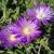 "Ice Plant - John Profit  Light: Sun Zone: 4 Size: 2-3"" Bloom Time: June-August Color: Pink/Purple Soil: Well-Drained, Sandy, Drought Tolerant"