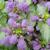 "Lamium - Orchid Frost  Light: Shade/Part Shade Zone: 6 Size: 12"" Bloom Time: April-June Color: Orchid Pink Soil: Moist, Well-Drained"