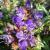 "Primrose - Bella Blue  Light: Sun/Part Shade Zone: 5 Size: 10-12"" Bloom Time: May-September Color: Dark Purple Soil: Moist, Well-Drained"