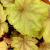 "Coral Bells - Carnival Watermelon   Light: Sun/Part Sun Zone: 4 Size: 14"" Bloom Time: April-October  Color: 14"" Soil: Moist, Well-Drained"