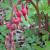 "Bleeding Heart - Valentine   Light: Shade Zone: 4 Size: 24-30"" Bloom Time: May-July Color: Dark Pink Soil: Humus Rich, Well-Drained"