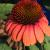 "Coneflower - Sombrero Hot Coral  Light: Sun/Part Shade Zone: 4 Size: 24-30"" Bloom Time: July-September Color: Red/Pink/Orange Soil: Well-Drained Humus Rich"
