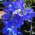 "Delphinium-Blue Mirror  Light: Sun/Part Shade Zone: 4 Size: 16"" Bloom Time: July-July Color: Deep Navy Blue Soil: Well-Drained, Fertile"