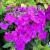 Phlox - Garden Nicky  Light: Sun/Part Shade Zone: 3 Size: 4' Bloom Time: July/August Color: Dark Pink Soil: Fertile, Well-Drained, Moist