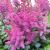 "Astilbe - Visions in Red  Light: Part Shade  Zone: 4 Size: 15-18"" Bloom Time: July-August Color: Reddish Purple Soil: Rich, Moist, Organic"