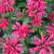 "Beebalm - Cherry Pops  Light: Sun/Light Shade  Zone: 3  Size: 18-24"" Bloom Time: July-August  Color: Cherry Red Soil: Moist, Rich, Well-Drained"