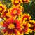 "Coreopsis - Daybreak  Zone: 5 Size: 10-12"" Bloom Time: June-September  Color: Red with Gold Tips Soil: Well-Drained"
