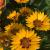 "Coreopsis - Sunfire  Light: Sun Zone: 4 Size: 18-24"" Bloom Time: June-November Color: Golden Yellow with a red eye Soil: Well-Drained"