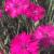 "Dianthus - Neon Star  Light: Sun Zone: 3 Size: 6-8"" Bloom Time: Spring/Fall Color: Neon Pink Soil: Moist, Fertile"