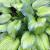 Hosta - Guacamole  Light: Part Sun/Shade Zone: 2 Size: 2-3' Bloom Time: August Color: Lavender Soil: Well-Drained, Moist