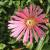 "Ice Plant - Mesa Verde  Light: Sun Zone: 4 Size: 2-3"" Bloom Time: June-August Color: Salmon Pink Soil: Well-Drained, Sandy, Drought Tolerant"