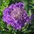 "Pin Cushion Flower - Butterfly Blue   Light: Sun Zone: 5 Size: 14-16"" Bloom Time: May-October Color: Light Blue Soil: Fertile, Well-Drained, Moist"