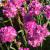 "Thrift - Armada Rose  Light: Sun Zone: 4 Size: 6-8"" Bloom Time: April-May Color: Dark Pink Soil: Well-Drained"