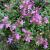"Thyme-Creeping Magic Carpet  Light: Sun Zone: 3 Size: 2-3"" Bloom Time: June Color: Deep Orchid Pink Soil: Well-Drained  Can be used in cooking"