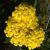 "Yarrow - Goldie  Light: Sun Zone: 3 Size: 10-12"" Bloom Time: June-September Color: Yellow Soil: Tolerates Drought"