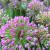 Allium - Millenium  Light: Sun  Zone: 5 Size: 15-20 inches  Bloom Time: August-September Color: Rosy Purple Soil: Well-Drained, Moist