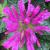 "Bee Balm - Petite Delight  Light: Sun/Part Shade  Zone: 4 Size: 12-15"" Bloom Time: July/August Color: Pink Soil: Moist"