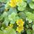 "Creeping Jenny - Golden  Light: Part Shade/Shade Zone: 2 Size: 4""X18"" Bloom Time: June Color: Yellow Soil: Average Moist, Wet Tolerant"
