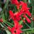 "Crocosmia - Lucifer Red Sword  Light: Sun Zone: 5  Size: 36-40"" Bloom time: July Color: Red Soil: Well-Drained"