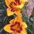 "Daylily-Black Eyed Stella  Light: Sun/Part Shade Zone: 3 Size: 18-30"" Bloom Time: June-September Color: Golden with Red Eye Soil: Moist, Well-Drained"