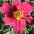 "Daylily- Pardon Me  Light: Sun/Part Shade Zone: 4 Size: 12-20"" Bloom Time: July/August Color: Cranberry Red Soil: Moist, Fertile"