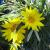 "Gazania - Colorado Gold   Light: Sun Zone: 4  Size: 6"" Bloom Time: June-Frost Color: Gold  Light: Well-Drained, Salt Tolerant"