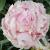Peony - Sara Bernhardt Pink  Light: Sun Zone: 3 Size: 2-3' Bloom Time: May-June Color: Pink Soil: Rich, Well-Drained