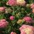 "Yarrow - Peachy Seduction  Light: Sun Zone: 4 Size: 18-24"" Bloom Time: June-September Color: Peachy Pink Soil: Well-Drained"