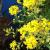 "Alyssum-Golden Spring  Light: Sun Zone: Part 4 Size: 6-8"" Bloom Time: April/May Color: Yellow Soil: Well-Drained/Moist/Tolerant"