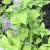 "Catmint - Limelight  Light: Sun/Part Shade Zone: 3 Size: 8""X12"" Bloom Time: May-October Color: Blue Soil: Well Drained, Drought Tolerant"