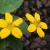 "Chrysogonum/Green & Gold Superstar  Light: Semi-Shade Zone: 4 Size: 6-8"" Bloom Time: April-June Color: Yellow Soil: Well-Drained, Drought Tolerant"
