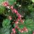 "Coral Bells - Berry Timeless  Light: Sun/Part Shade Zone: 3 Size: 18-20"" Bloom Time: May-July Color: Pink Soil: Fertile, Well-Drained"