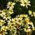 "Coreopsis - Buttermilk  Light: Sun Zone: 3 Size: 15-18"" Bloom Time: June-September Color: Pale Yellow Soil: Well-Drained"