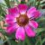 "Coreopsis - Pink Sapphire  Light: Sun Zone: 5 Size: 15-18"" Bloom Time: June-September Color: Pink Soil: Well-Drained"