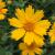 "Coreopsis - Sunshine Superman  Light: Sun Zone: 4 Size: 18-24"" Bloom Time: July-September Color: Yellow Soil: Well-Drained"
