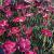 "Dianthus-Lavender Lace   Light: Sun Zone: 4 Size: 8-12"" Bloom Time: Spring and Fall Color: Raspberry Red  Soil: Moist/Fertile"