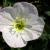 "Evening Primrose-Siskiyou  Light: Sun Zone:5 Size: 10-12"" Bloom Time: May-July Color: Pink Soil: Well-Drained, Sandy"