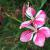 Gaura-Siskiyou Pink  Light: Sun Zone: 5 Size: 2-3' Bloom Time: July-September Color: Pink Soil: Light, Well-Drained
